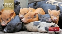genetically_modified_pigs_to_be_sold_as_pets_in_china