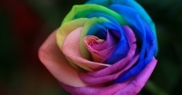 tczowa_ra_rainbow_rose