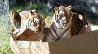 big_cats_like_boxes_too