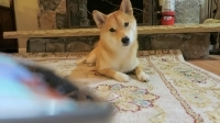 funny_shiba_inu_reaction_to_dog_noises