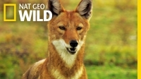 go_on_a_journey_with_an_ethiopian_wolf_family