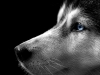 dogs_101_-_siberian_husky